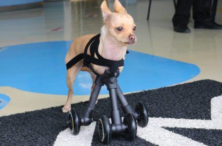 Dispositivo impreso en 3D ayudó a esta perrita a caminar
